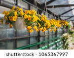 yellow petunias flowers hanging ... | Shutterstock . vector #1065367997