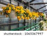 Yellow Petunias Flowers Hangin...