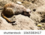 Meerkats On Sand In Sunny Day....