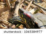 Red Eared Slider Turtle In...