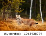 lynx in green forest. wildlife... | Shutterstock . vector #1065438779