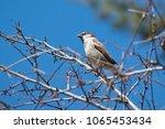 cute little house sparrow ... | Shutterstock . vector #1065453434