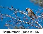 cute little house sparrow ... | Shutterstock . vector #1065453437