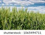 Wheat Field In Spring ...