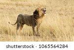 horizontal banner of a roaring...   Shutterstock . vector #1065564284