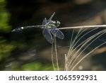 endangered dragonfly   chinese... | Shutterstock . vector #1065592931