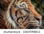 sumatran tiger  panthera tigris ... | Shutterstock . vector #1065598811