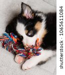 Stock photo australian shepherd purebred puppy months old with toy black tri color aussie dog at home on 1065611084