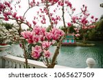 pale pink magnolia flower on a... | Shutterstock . vector #1065627509