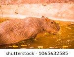 capybara in thai  thailand.   Shutterstock . vector #1065632585