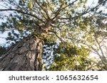 Pine Tree And Sunlight At Phu...