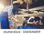 woman or farmer with and cows... | Shutterstock . vector #1065646859