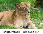 lion  zoo brno  czech republic | Shutterstock . vector #1065665414