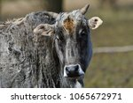 close up portrait of cow  | Shutterstock . vector #1065672971