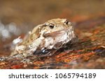 bufo bufo  common toad  | Shutterstock . vector #1065794189