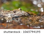 bufo bufo  common toad  | Shutterstock . vector #1065794195