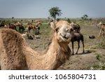 portrait of an indian dromedary ... | Shutterstock . vector #1065804731