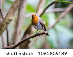 robin erithacus rubecula the uk'... | Shutterstock . vector #1065806189