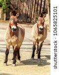 equus ferus przewalskii or...   Shutterstock . vector #1065825101