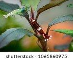 red wine shrimp climbing up...   Shutterstock . vector #1065860975