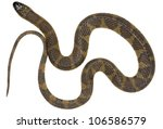 south american water snake ... | Shutterstock . vector #106586579