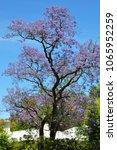 blooming blue jacaranda tree in ... | Shutterstock . vector #1065952259