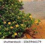 dainty little yellow flowered... | Shutterstock . vector #1065966179