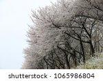 white cherry blossom in korea | Shutterstock . vector #1065986804
