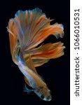 siamese fighting fish  betta... | Shutterstock . vector #1066010531