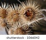 Close Up Shot Of Burdock Seeds