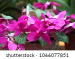 Cyclamen Close Up. Macro. A...