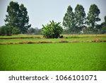 a green rice paddy field ... | Shutterstock . vector #1066101071
