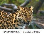 amur leopard  panthera pardus... | Shutterstock . vector #1066105487
