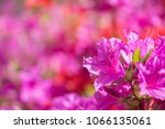 royal azaleas in spring. use as ... | Shutterstock . vector #1066135061