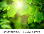 leaf on a tree in the forest. ... | Shutterstock . vector #1066161995