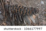 pine cone lies on the pavement | Shutterstock . vector #1066177997
