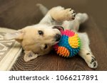 Stock photo funny puppy playing with a ball lying on his back 1066217891