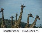 giraffes standing together... | Shutterstock . vector #1066220174