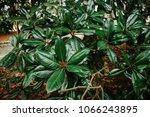 green leave background  low key ... | Shutterstock . vector #1066243895