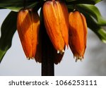 close up of the orange... | Shutterstock . vector #1066253111