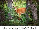 deer in the glacier national... | Shutterstock . vector #1066297874