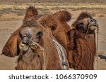 Pair Of Domestic Camels With...