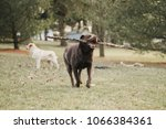 chocolate and yellow labrador... | Shutterstock . vector #1066384361