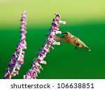 Hummingbird On Purple Salvia...