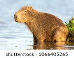 capybara  hydrochaeris...   Shutterstock . vector #1066405265