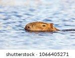 capybara  hydrochaeris...   Shutterstock . vector #1066405271