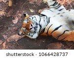 the big bengal tiger sleep | Shutterstock . vector #1066428737