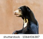 the big bear young and strong. | Shutterstock . vector #1066436387