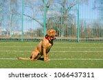 beautiful dog of dogue de... | Shutterstock . vector #1066437311