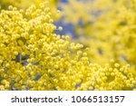 blooming acacia derwentii plant ... | Shutterstock . vector #1066513157